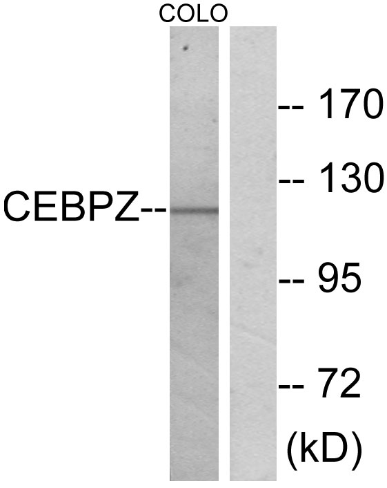 CEBPZ Antibody (OAAF02368) in COLO cells using Western Blot