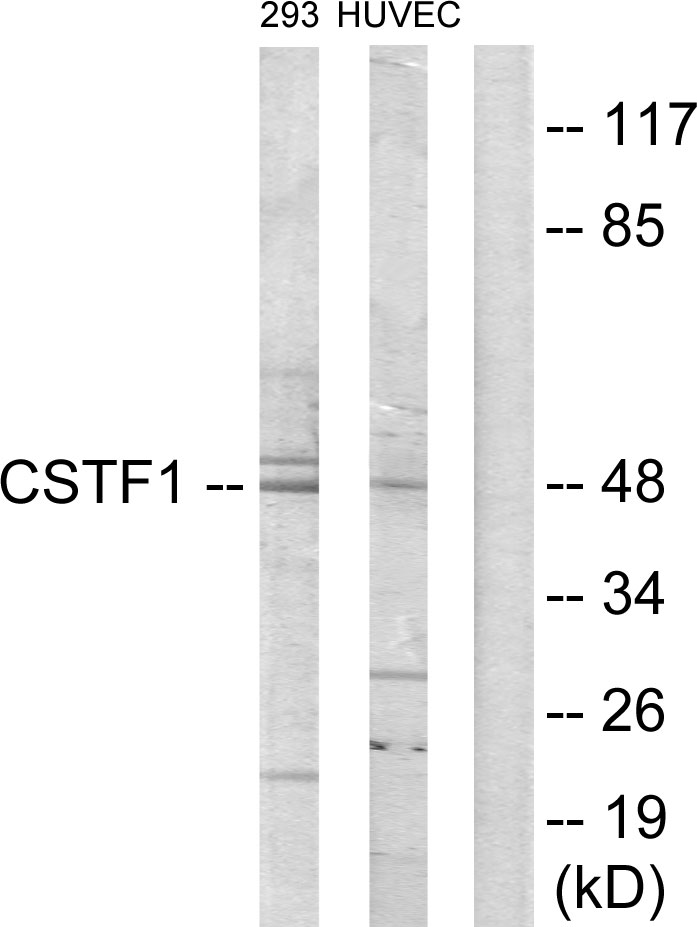 CSTF1 Antibody (OAAF02374) in 293, HUVEC cells using Western Blot
