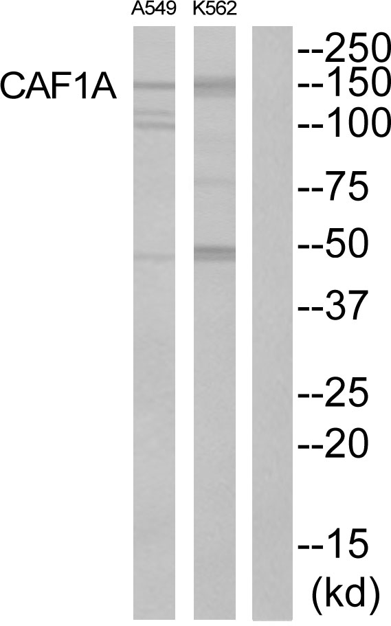 CHAF1A Antibody (OAAF02393) in K562, A549 cells using Western Blot