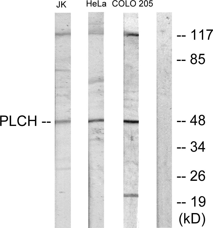 AGPAT9 Antibody (OAAF02485) in Jurkat, HeLa, COLO205 cells using Western Blot