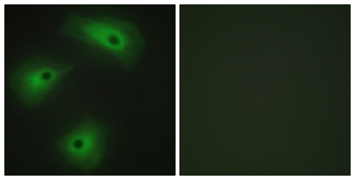 ANO1 Antibody (OAAF02496) in HeLa cells using Immunofluorescence