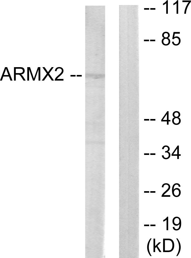 ARMCX2 Antibody (OAAF02513) in 293 cells using Western Blot