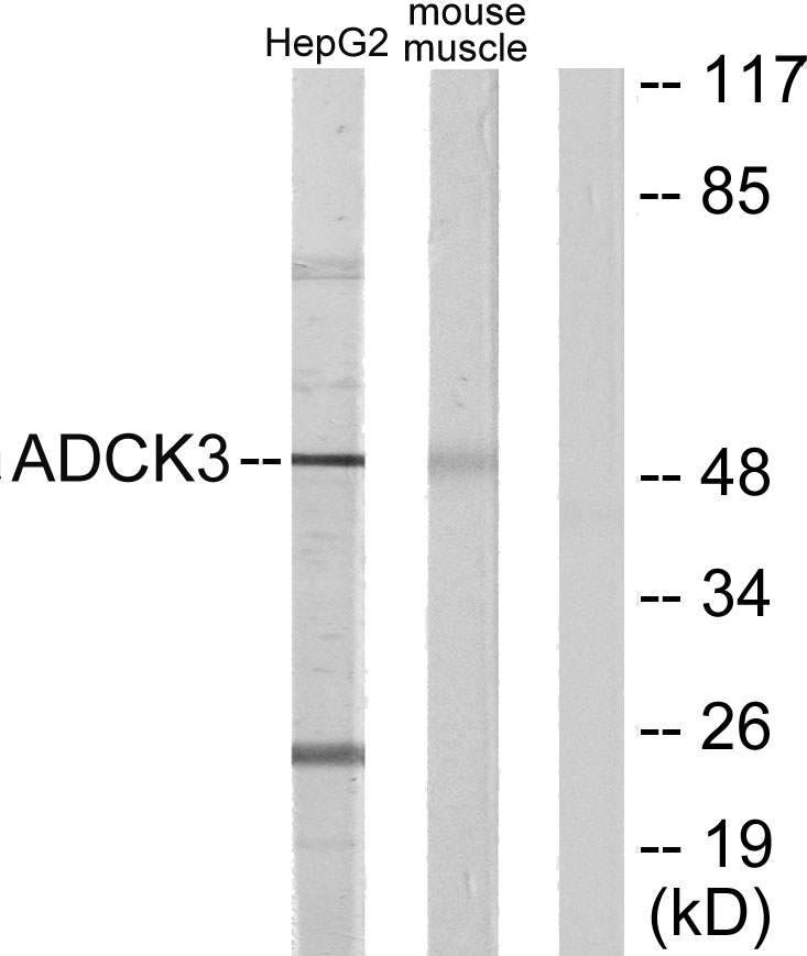 ADCK3 Antibody (OAAF02558) in HepG2, Mouse muscle cells using Western Blot