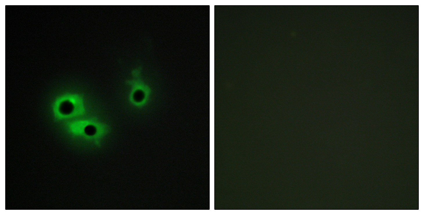 AGR3 Antibody (OAAF02564) in COS-7 cells using Immunofluorescence