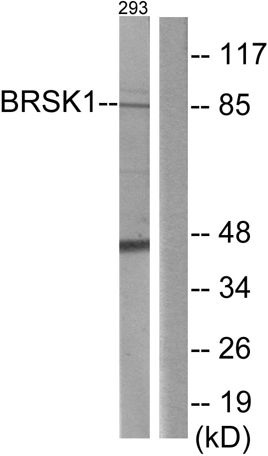 BRSK1 Antibody (OAAF02566) in 293 cells using Western Blot