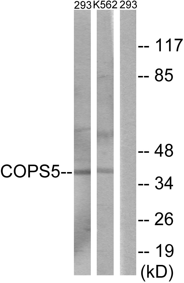 COPS5 Antibody (OAAF02591) in 293, K562 cells using Western Blot