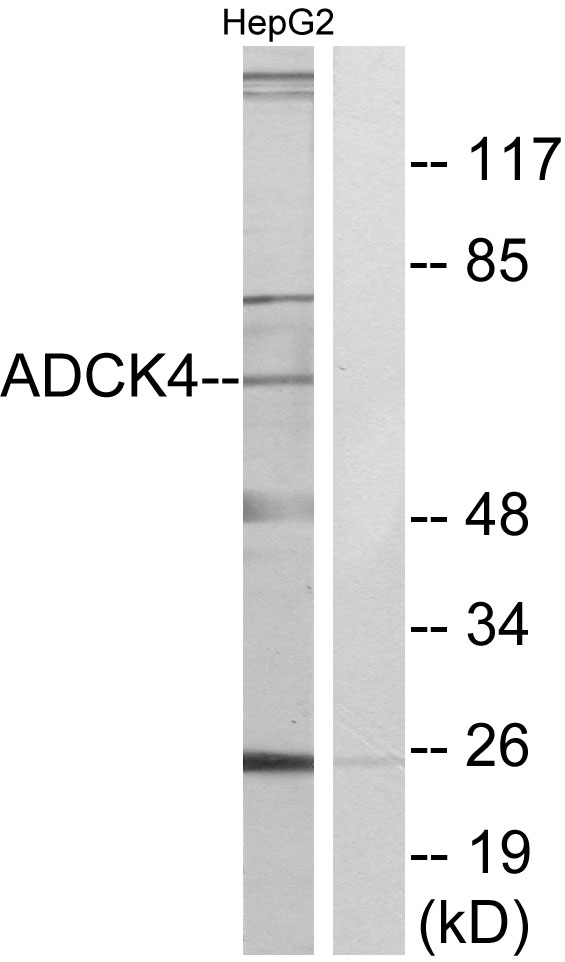ADCK4 Antibody (OAAF02611) in HepG2 cells using Western Blot