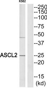 ASCL2 Antibody (OAAF02636) in K562 cells using Western Blot