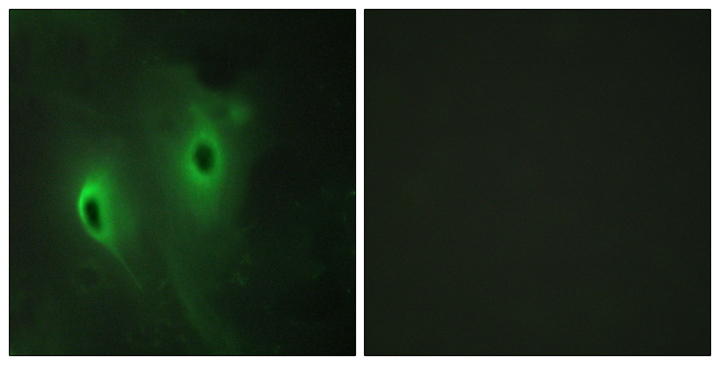 DUSP9 Antibody (OAAF02638) in HeLa cells using Immunofluorescence