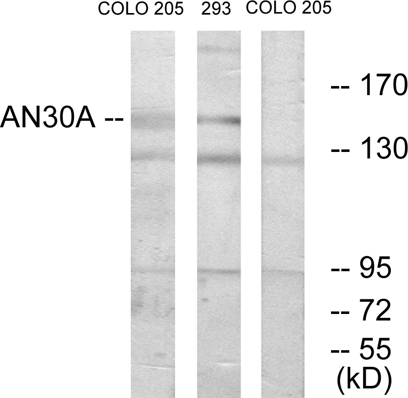 ANKRD30A Antibody (OAAF02652) in COLO, 293 cells using Western Blot