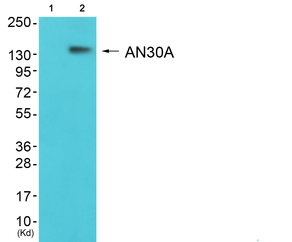 ANKRD30A Antibody (OAAF02652) in K562 cells using Western Blot