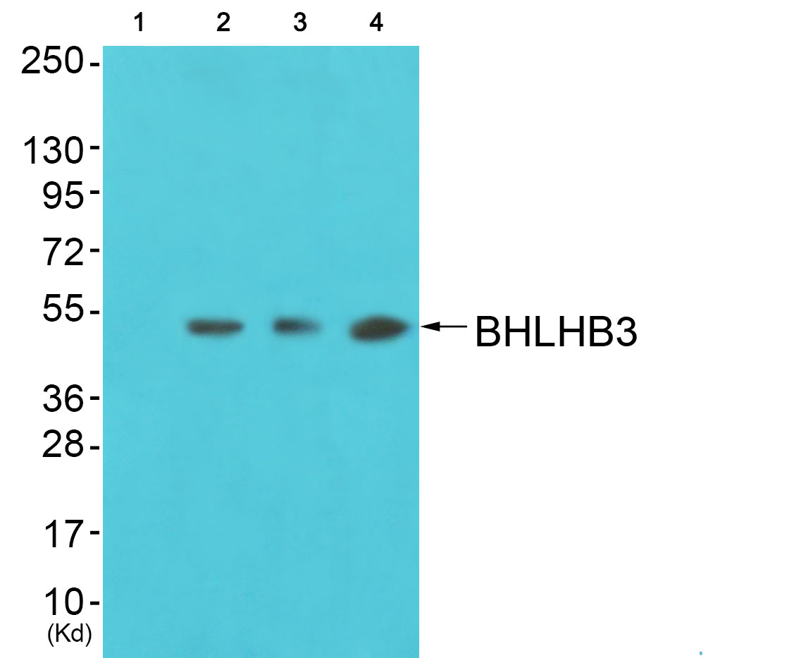 BHLHE41 Antibody (OAAF02662) in 3T3, colo, K562 cells using Western Blot