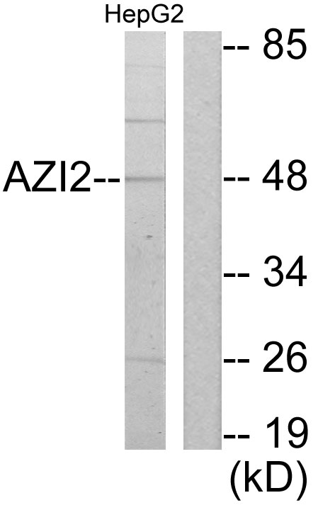 AZI2 Antibody (OAAF02678) in HepG2 cells using Western Blot