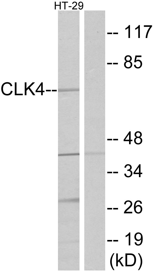 CLK4 Antibody (OAAF02684) in HT-29 cells using Western Blot