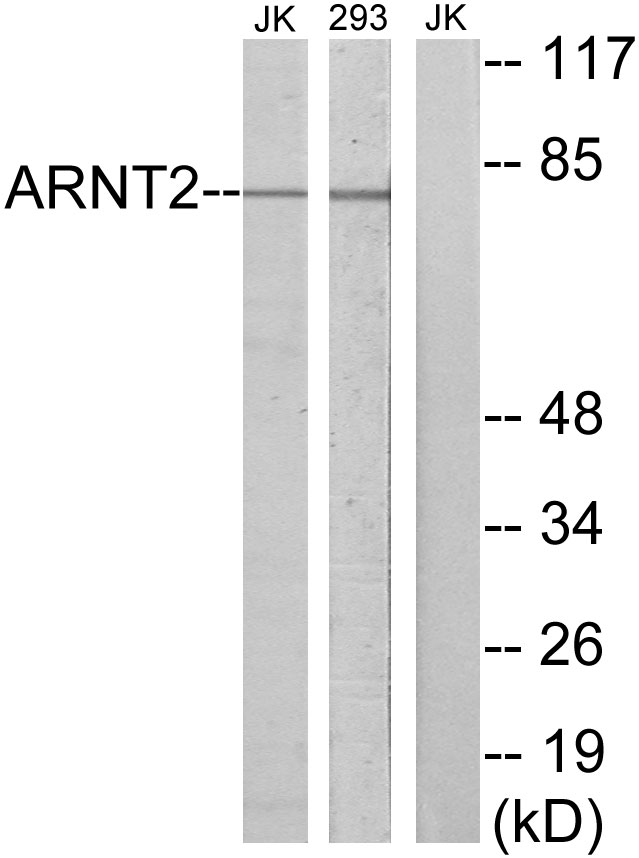 ARNT2 Antibody (OAAF02686) in Jurkat, 293 cells using Western Blot