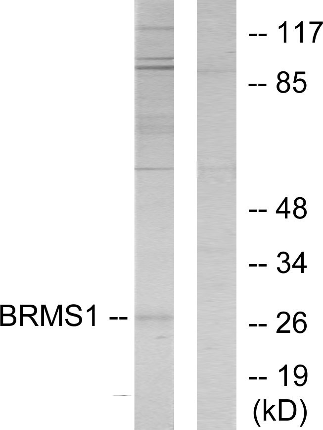 BRMS1 Antibody (OAAF02688) in 293 cells using Western Blot