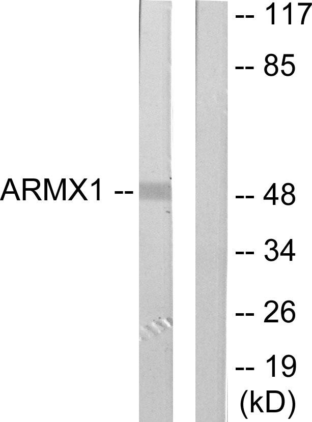 ARMCX1 Antibody (OAAF02714) in Rat brain cells using Western Blot