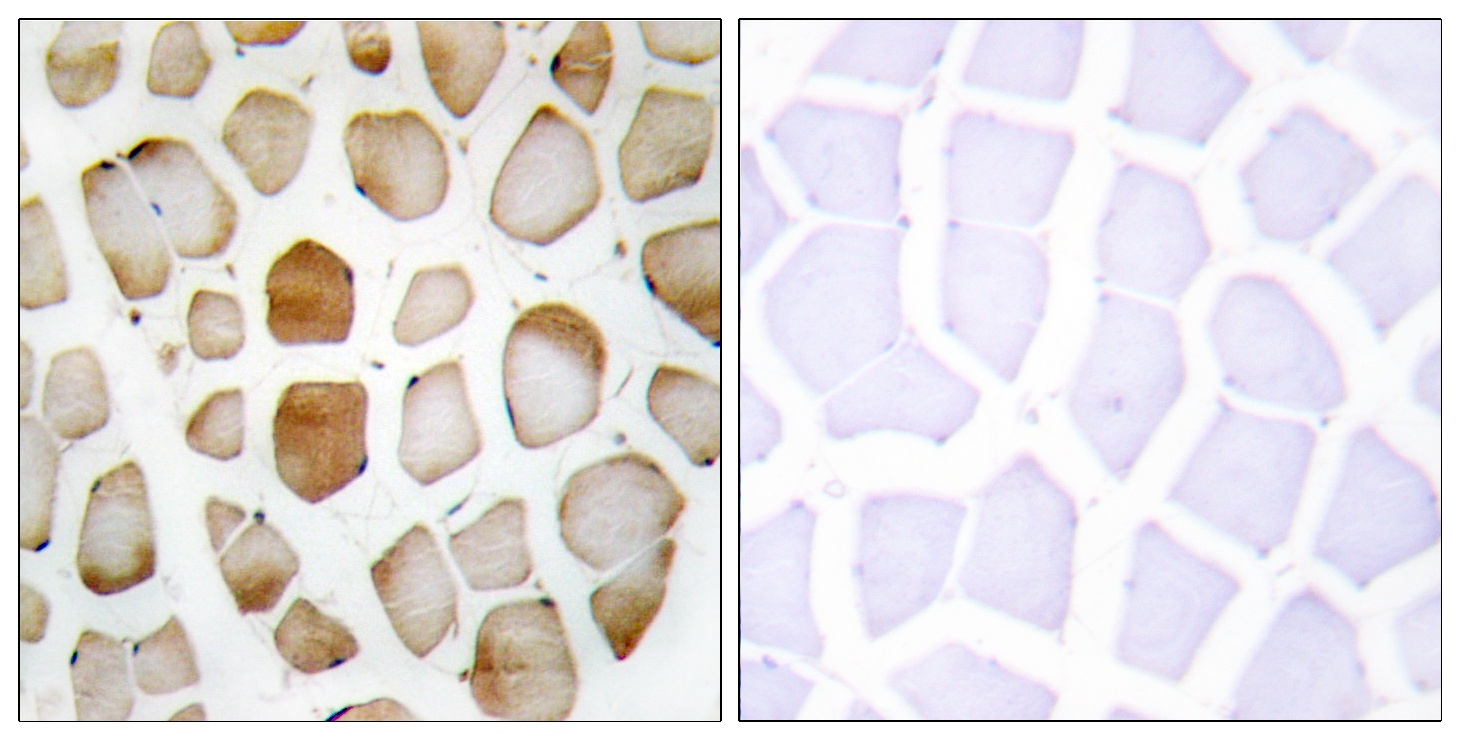 ATG4B Antibody (OAAF02774) in Human skeletal muscle cells using Immunohistochemistry