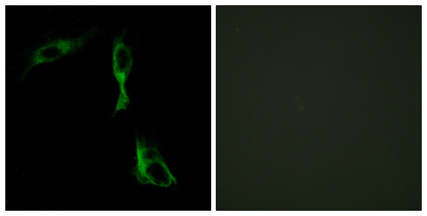 ADRA1D Antibody (OAAF02811) in HeLa cells using Immunofluorescence