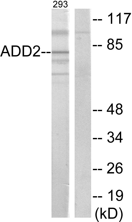 ADD2 Antibody (OAAF02818) in 293 cells using Western Blot
