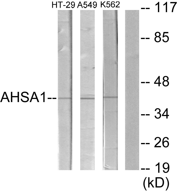 AHSA1 Antibody (OAAF02822) in HT-29, A549, K562 cells using Western Blot