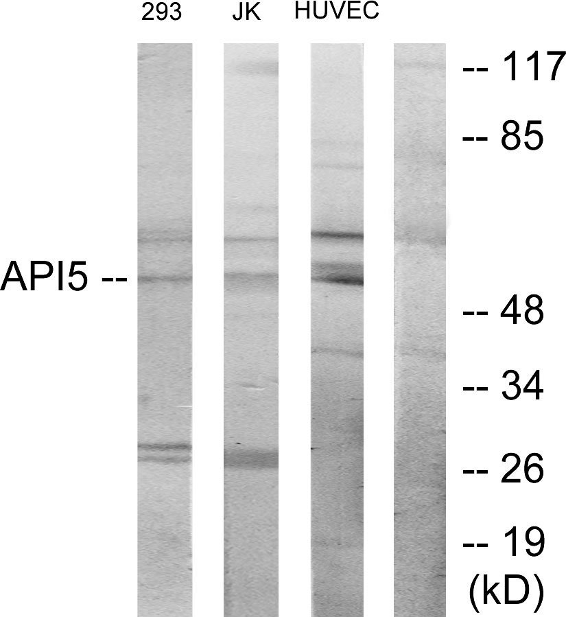 API5 Antibody (OAAF02826) in 293, Jurkat, HUVEC cells using Western Blot