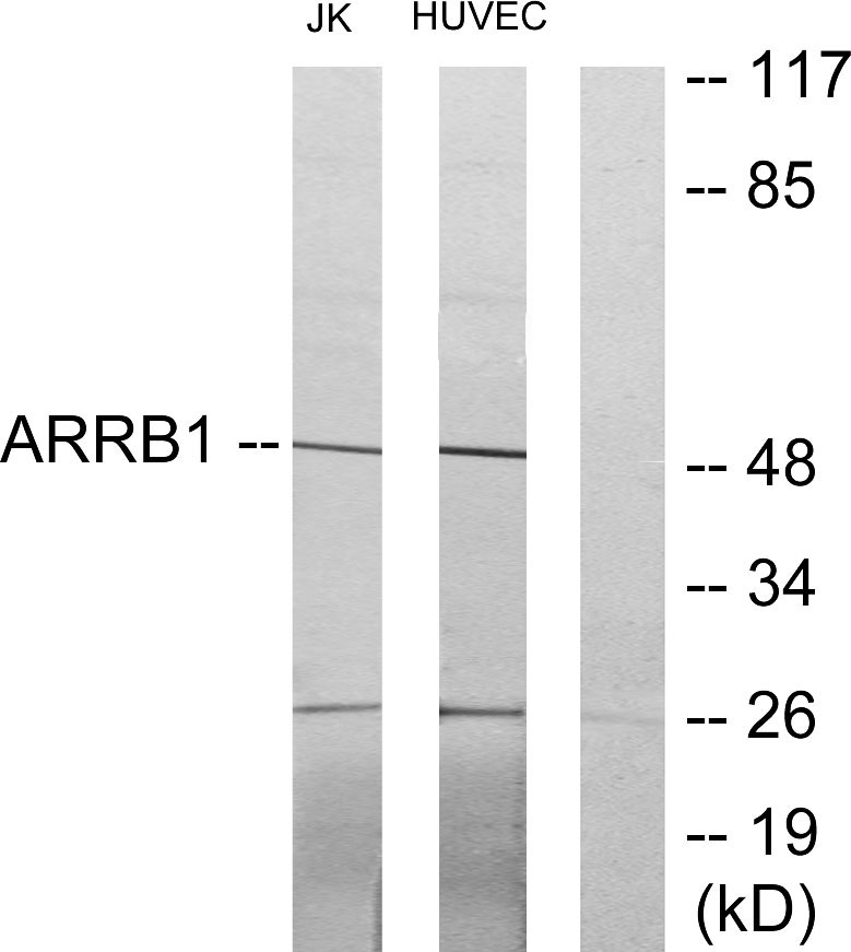 ARRB1 Antibody (OAAF02827) in Jurkat, HUVEC cells using Western Blot