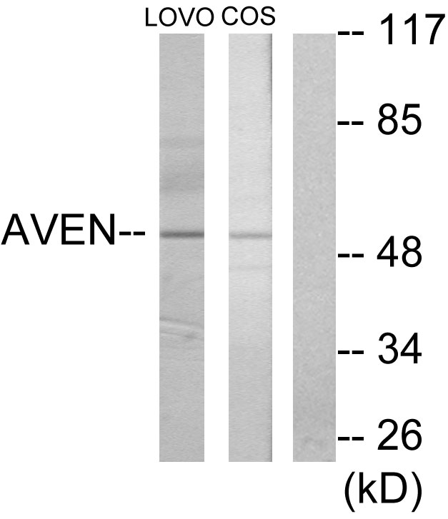 AVEN Antibody (OAAF02834) in LOVO, COS-7 cells using Western Blot