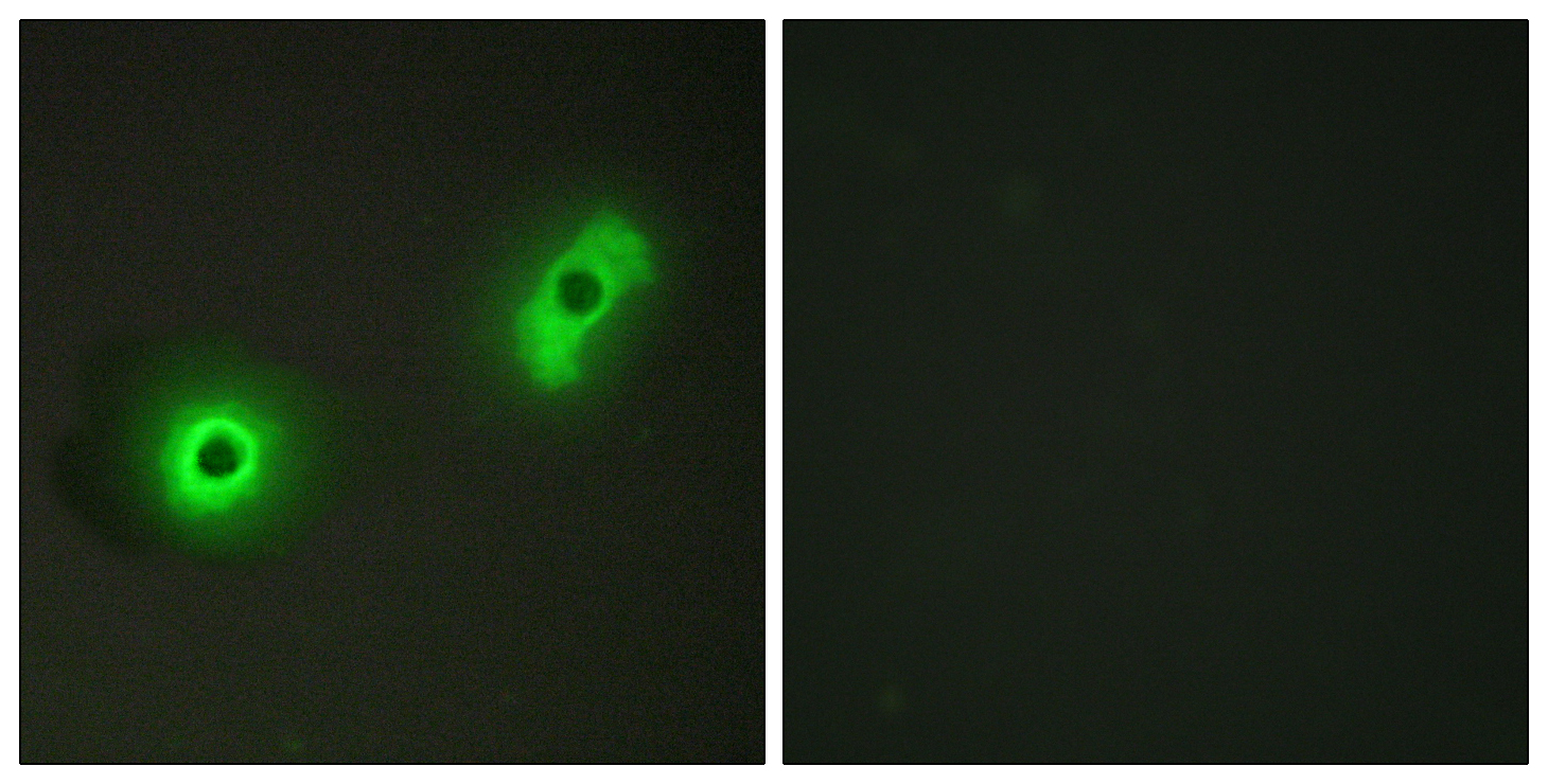 CABLES2 Antibody (OAAF02841) in A549 cells using Immunofluorescence