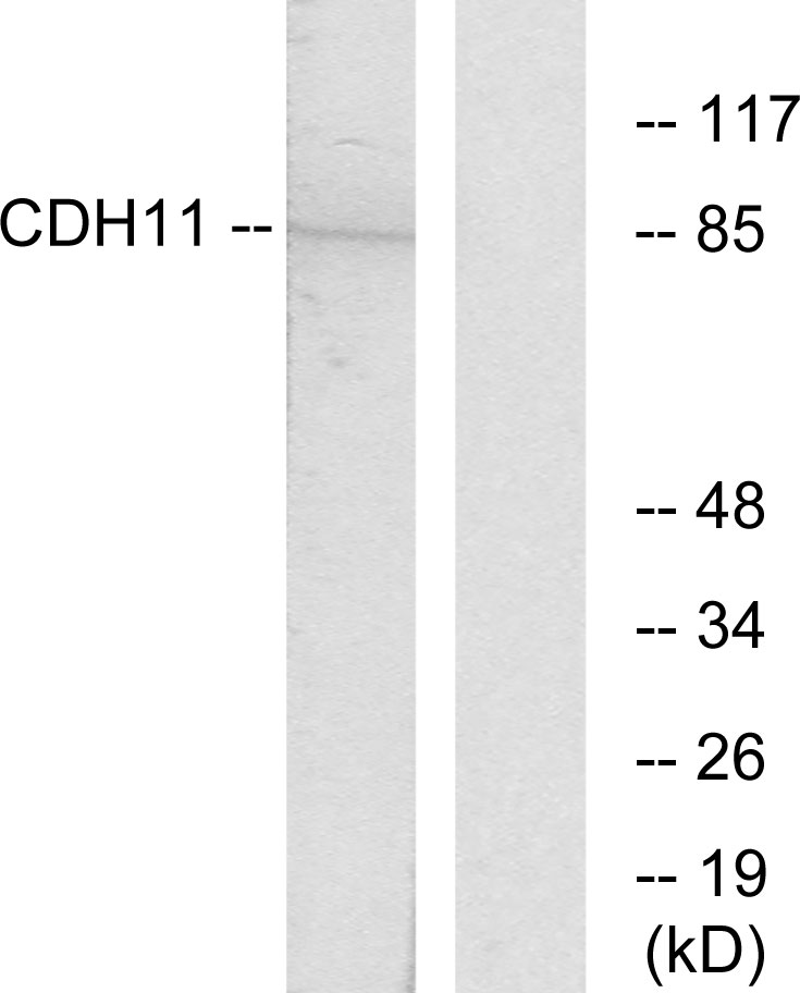 CDH11 Antibody (OAAF02843) in Jurkat cells using Western Blot