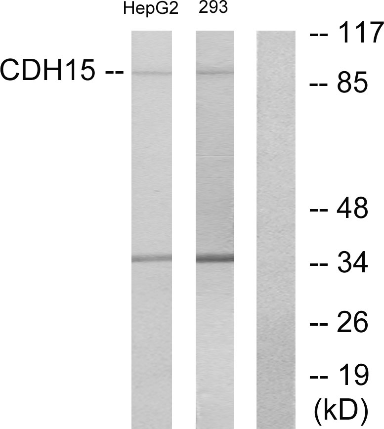 CDH15 Antibody (OAAF02845) in HepG2, 293 cells using Western Blot