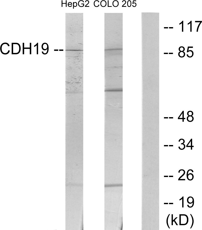 CDH19 Antibody (OAAF02848) in HepG2, COLO205 cells using Western Blot