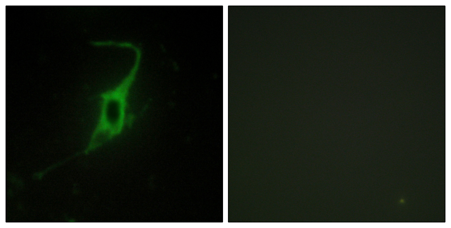 CDH20 Antibody (OAAF02849) in NIH/3T3 cells using Immunofluorescence