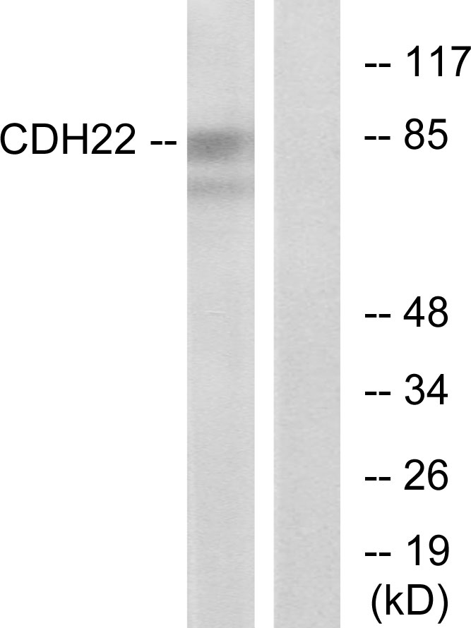 CDH22 Antibody (OAAF02850) in Rat brain cells using Western Blot