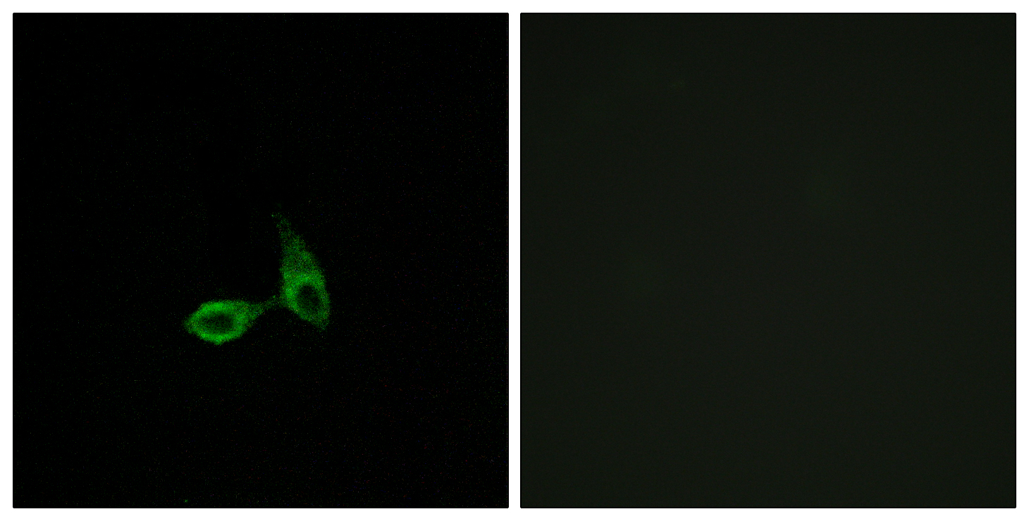 CDH24 Antibody (OAAF02852) in HepG2 cells using Immunofluorescence