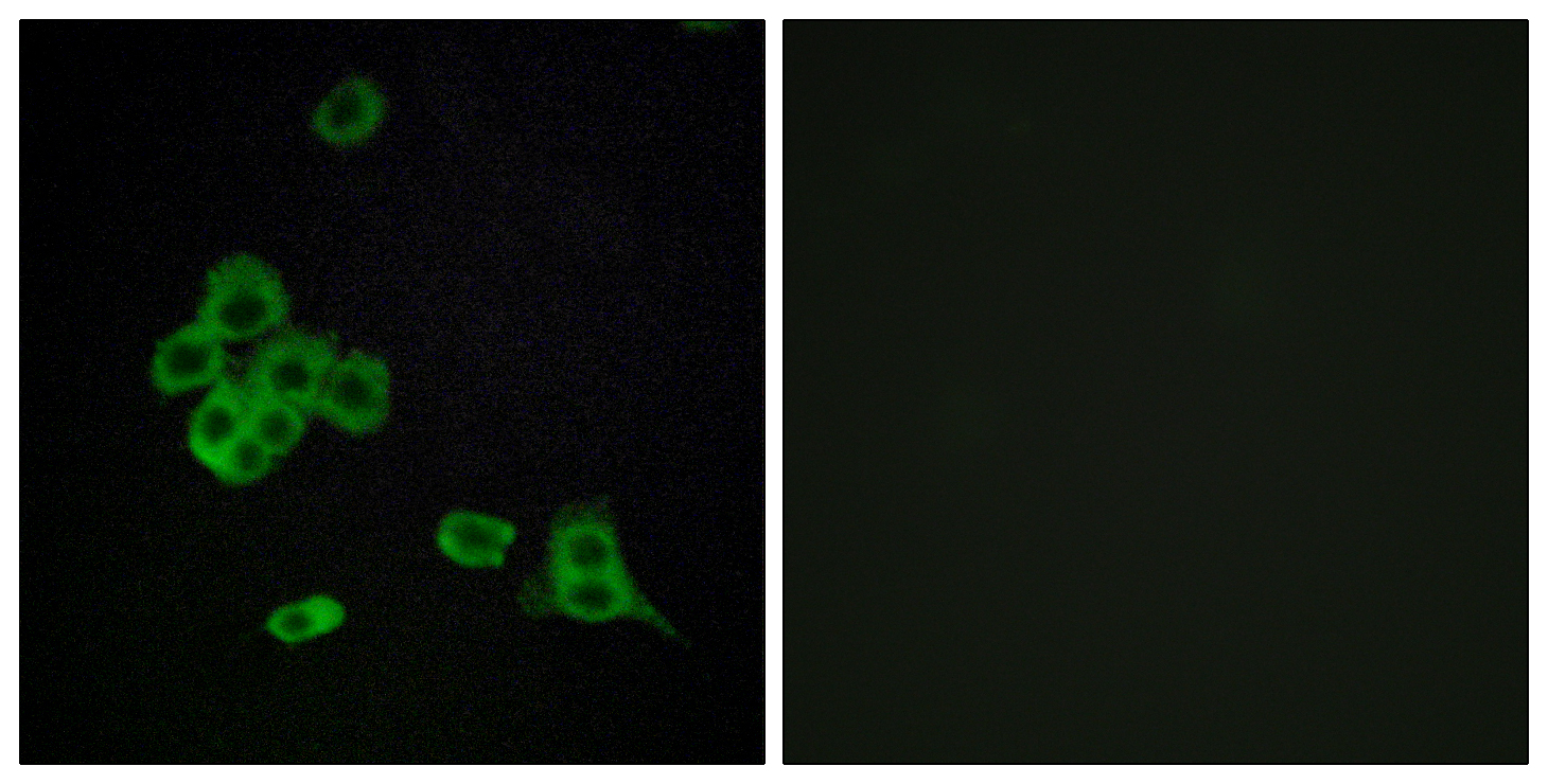 CDH26 Antibody (OAAF02853) in MCF-7 cells using Immunofluorescence