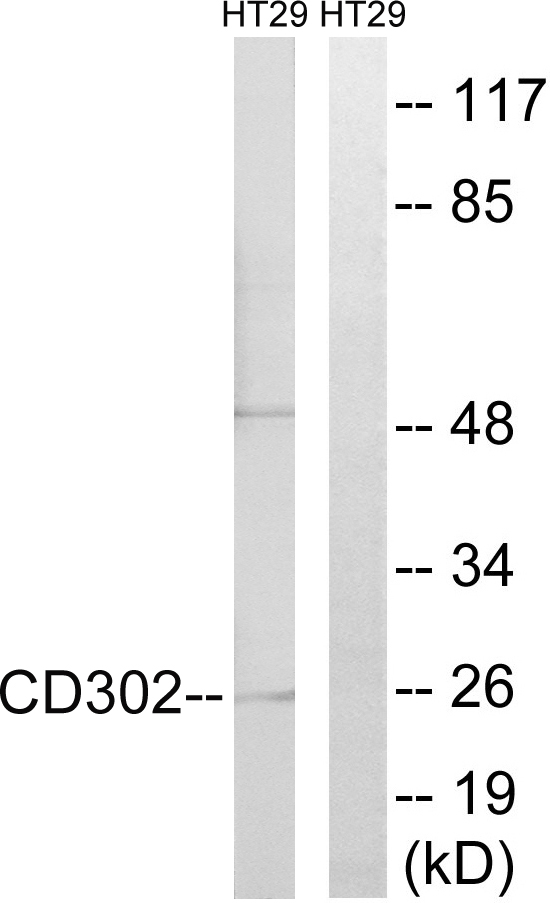 CD302 Antibody (OAAF02873) in HT-29 cells using Western Blot