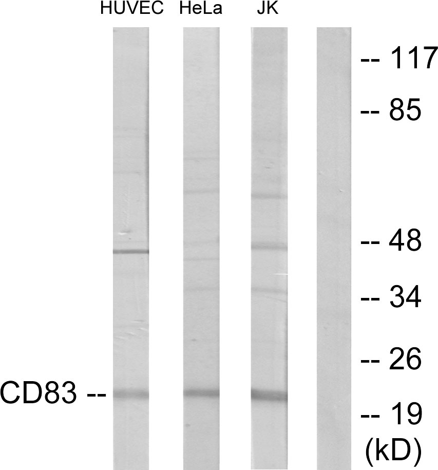CD83 Antibody (OAAF02874) in HUVEC, HeLa, Jurkat cells using Western Blot