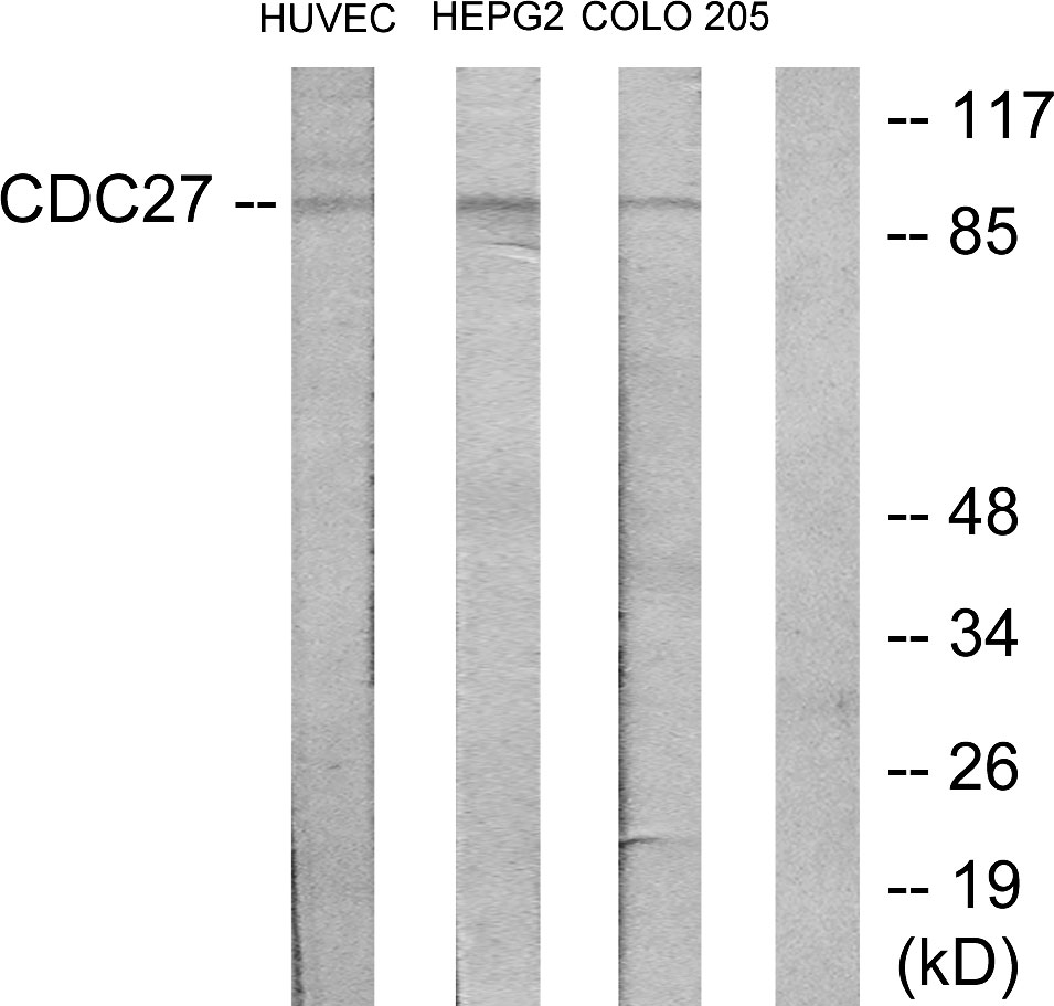 CDC27 Antibody (OAAF02879) in HUVEC, HepG2, COLO205 cells using Western Blot