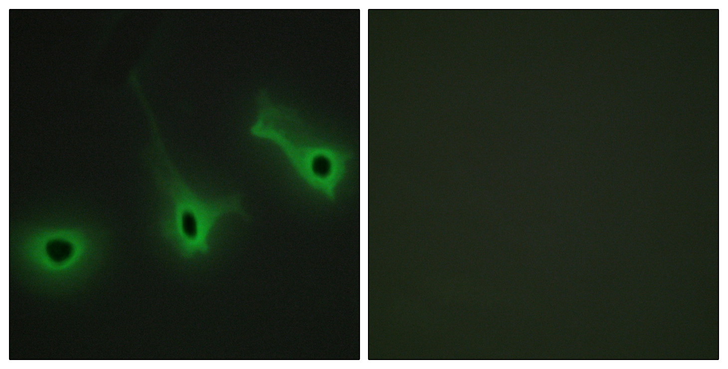 COL5A3 Antibody (OAAF02907) in HeLa cells using Immunofluorescence
