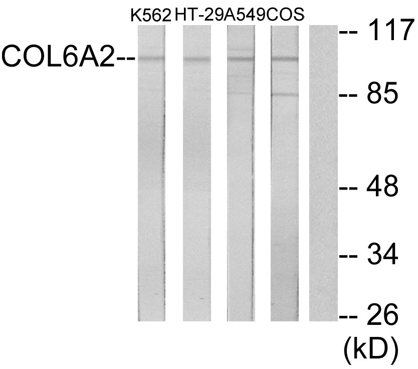 COL6A2 Antibody (OAAF02909) in K562, HT-29, A549, COS-7 cells using Western Blot