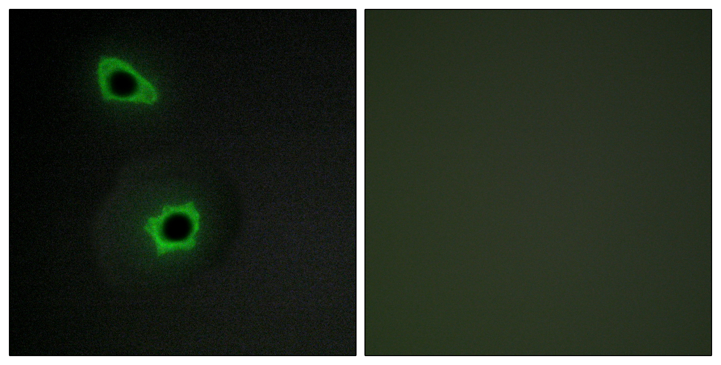 COL7A1 Antibody (OAAF02911) in COS-7 cells using Immunofluorescence