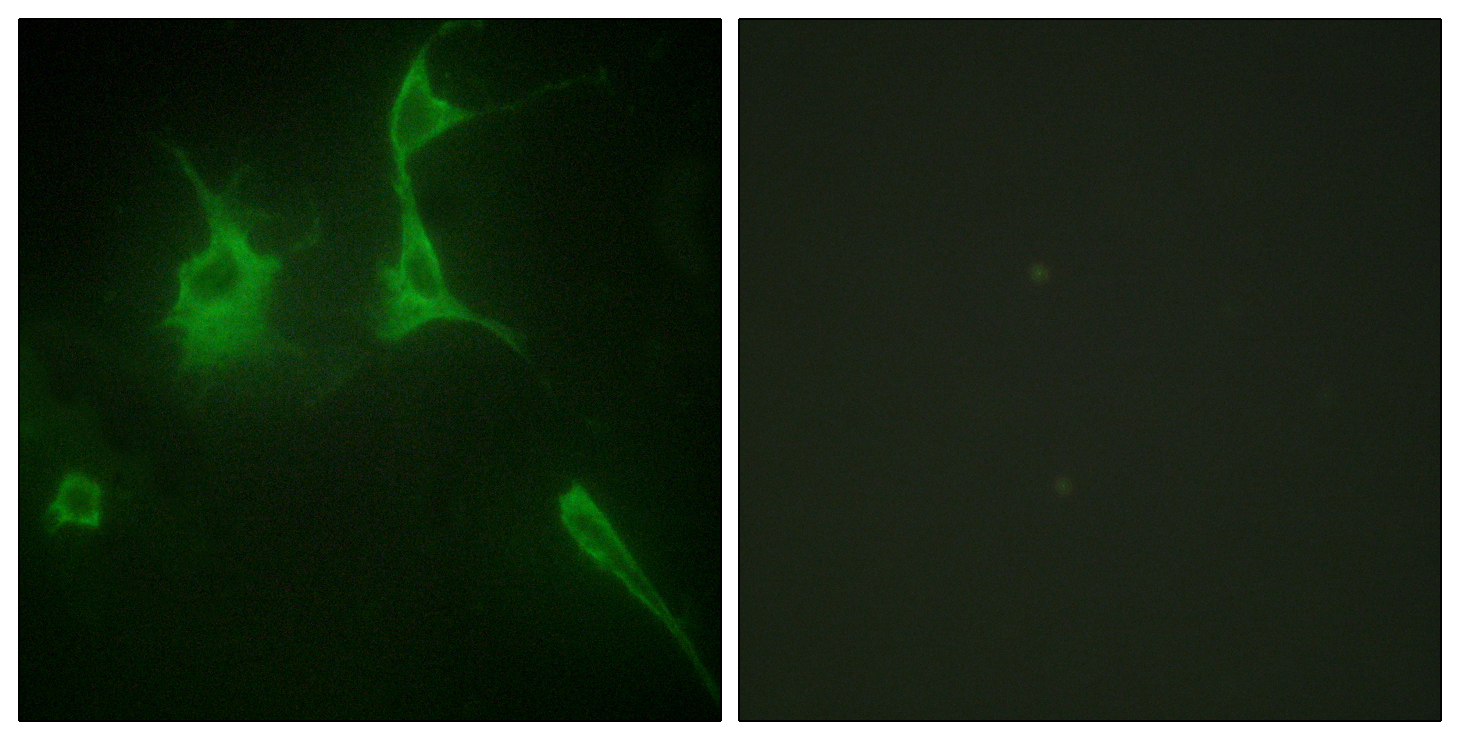 COL9A3 Antibody (OAAF02913) in NIH/3T3 cells using Immunofluorescence