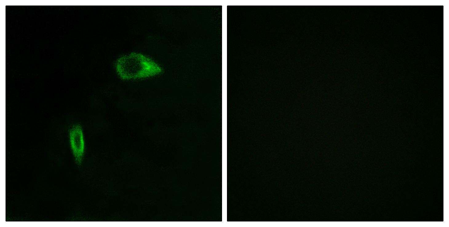 COL14A1 Antibody (OAAF02918) in HeLa cells using Immunofluorescence