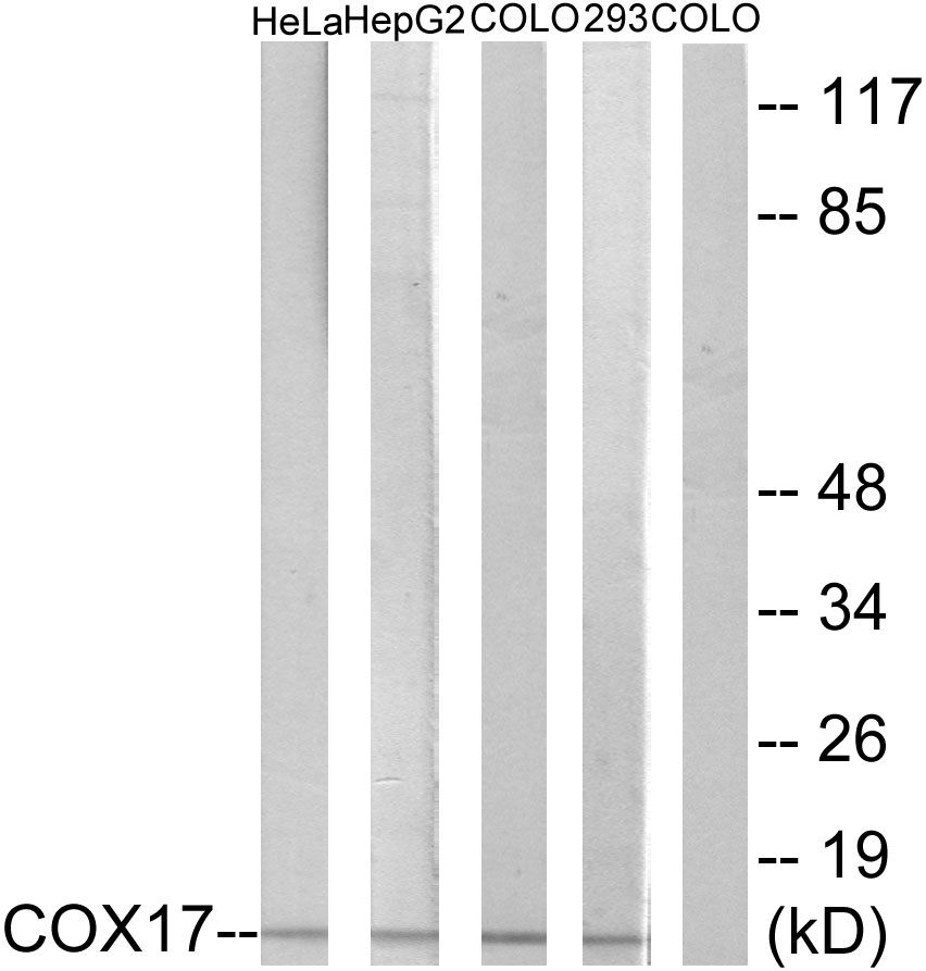 COX17 Antibody (OAAF02928) in HeLa, HepG2, COLO, 293 cells using Western Blot