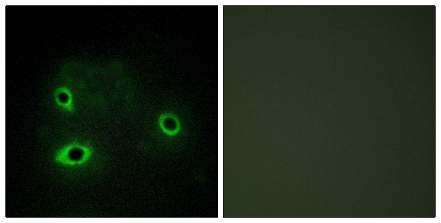 COX4I2 Antibody (OAAF02931) in COS7 cells using Immunofluorescence