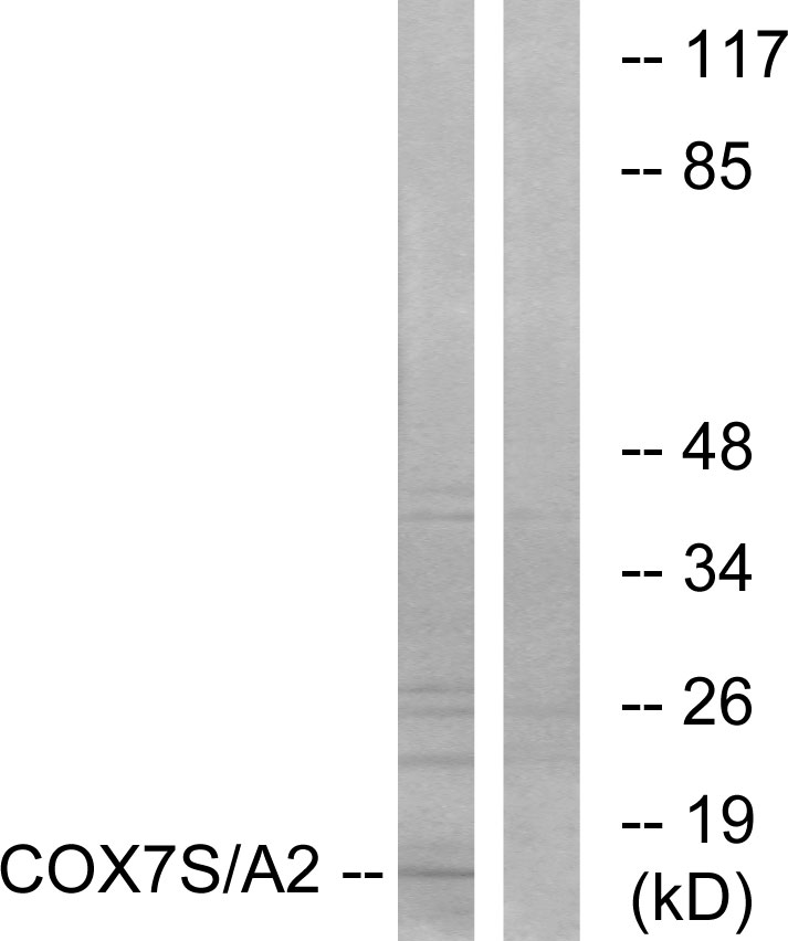 COX7A2P2 Antibody (OAAF02935) in Rat heart cells using Western Blot