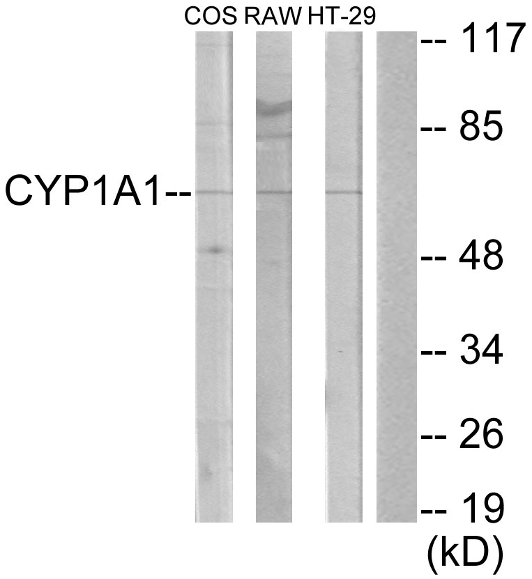 CYP1A1 Antibody (OAAF02938) in COS-7, RAW264.7, HT-29 cells using Western Blot
