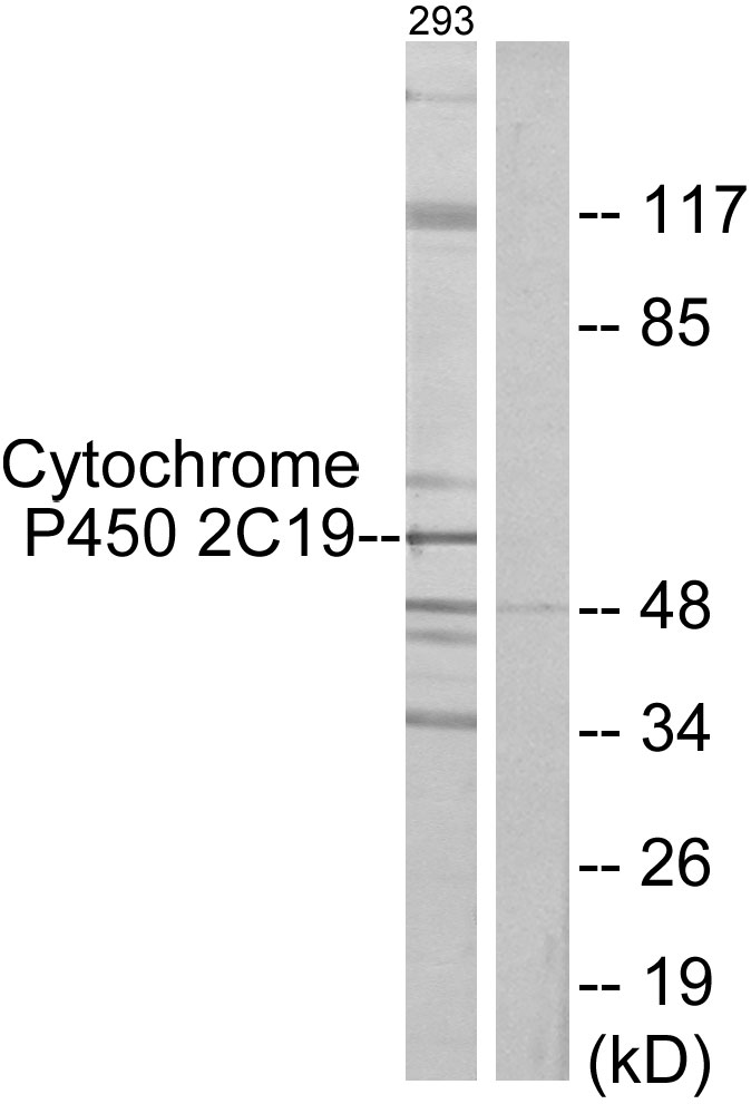 CYP2C19 Antibody (OAAF02950) in 293 cells using Western Blot