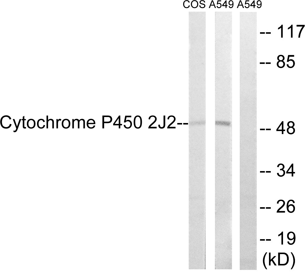 CYP2J2 Antibody (OAAF02953) in A549, RAW264.7, NIH-3T3 cells using Western Blot